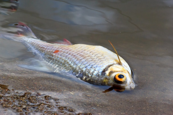 died fish caused by water pollution