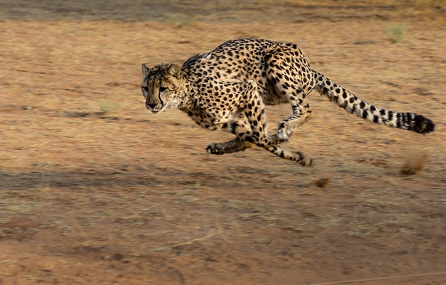 Running Cheetah captured at fast shutter speed